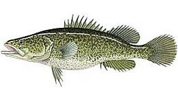 Drawing of a Murry Cod